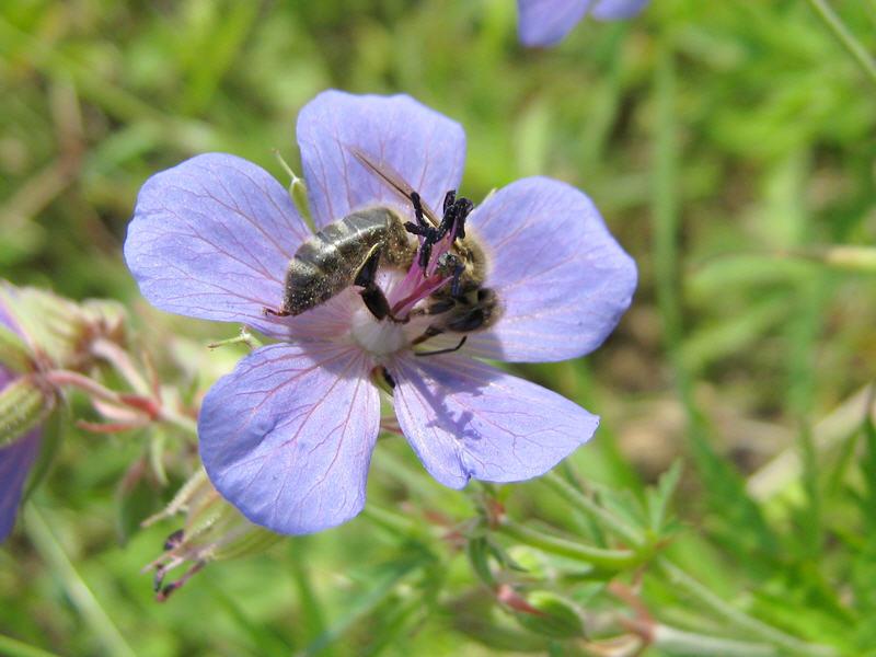 Пчела и герань