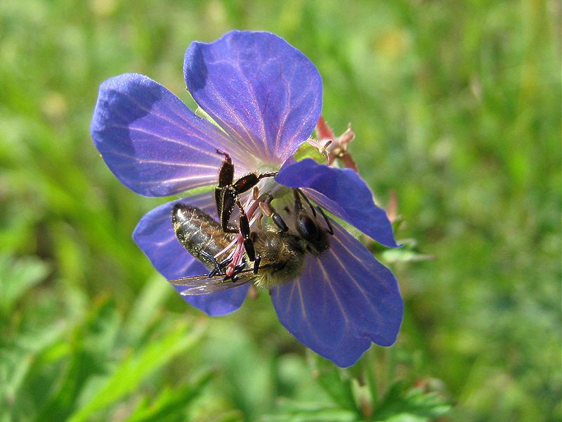 На цветке герани