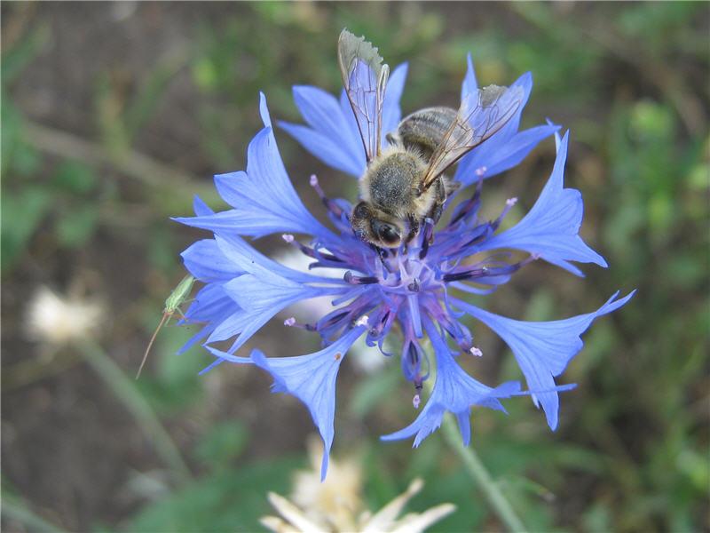 Пчёла на васильке