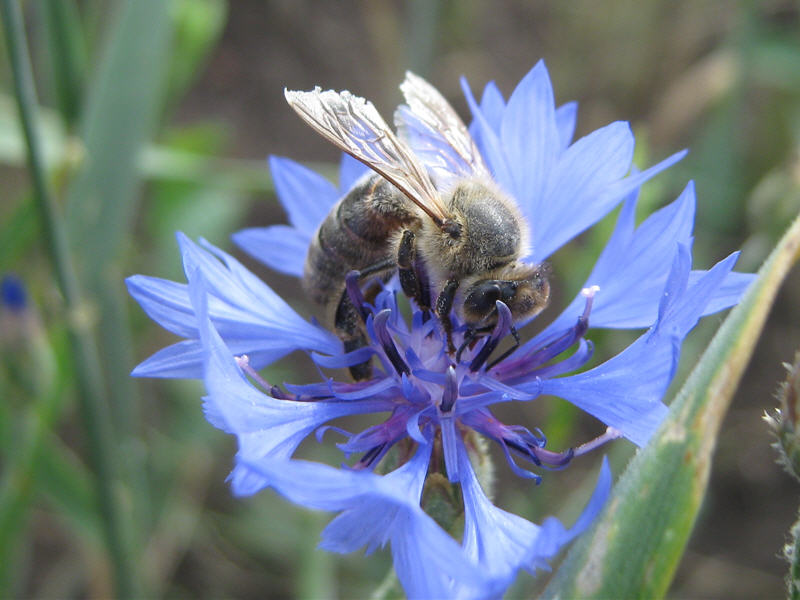Пчела на цветке василька полевого