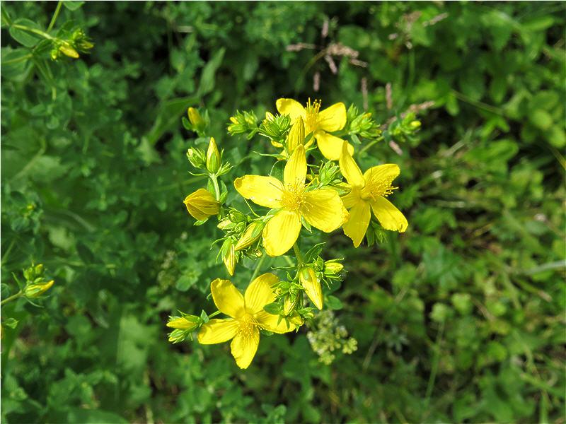 Жёлтые цветки зверобоя - вид сверху