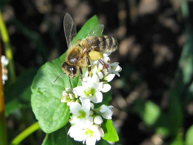 Пчела на цветках гречихи