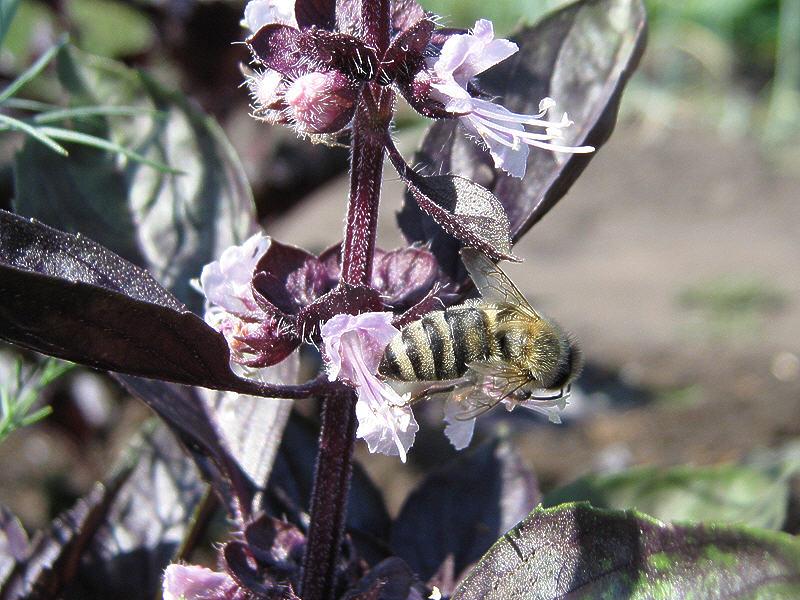 Пчела на цветках базилика душистого