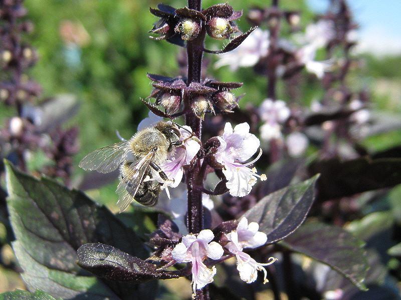 Пчёла и базилик