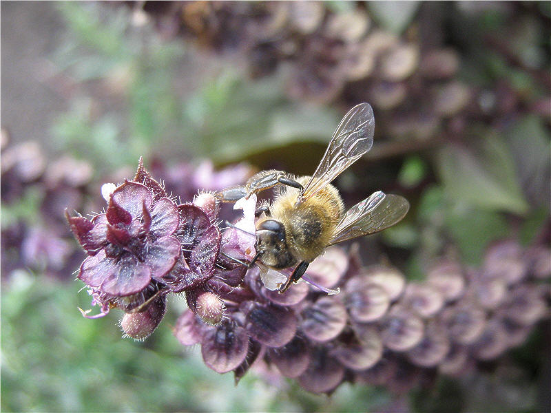 Пчела на цветке базилика