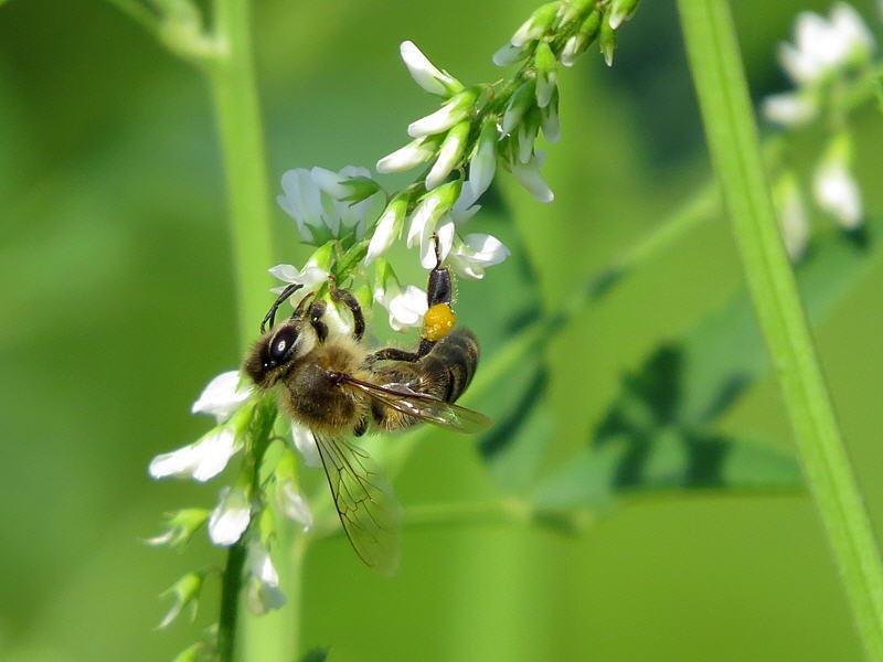 Пчела на цветках донника фотографии