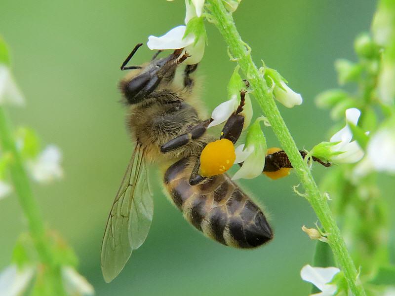 Медоносная пчела на доннике