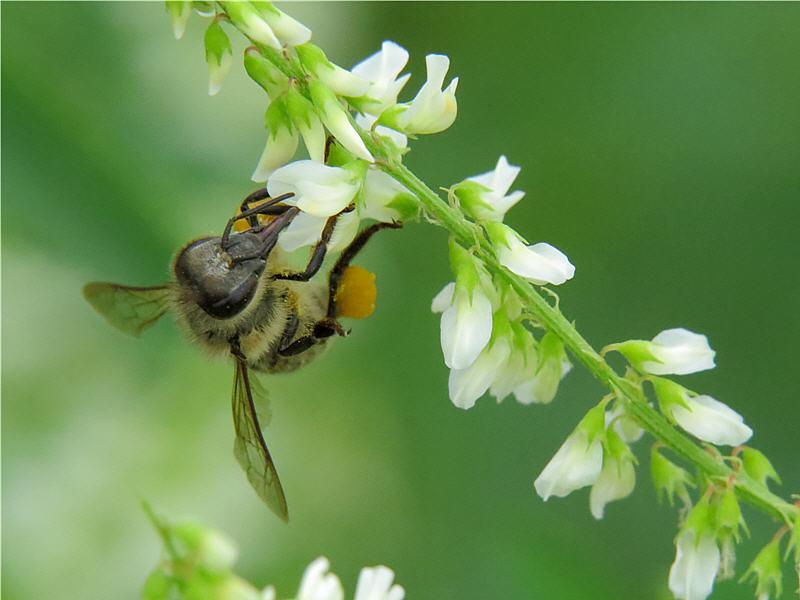 Пчела на цветке донника белого