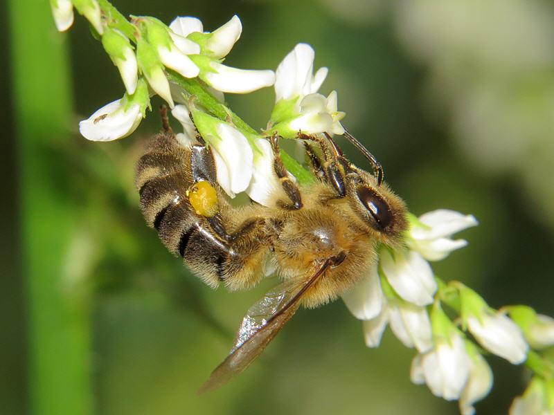 Пчела на соцветии донника