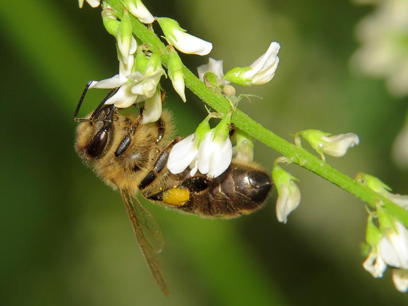 Пчела на доннике фото