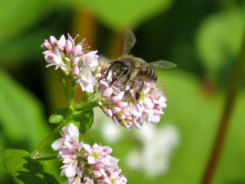 Пчела на цветках гречихи посевной