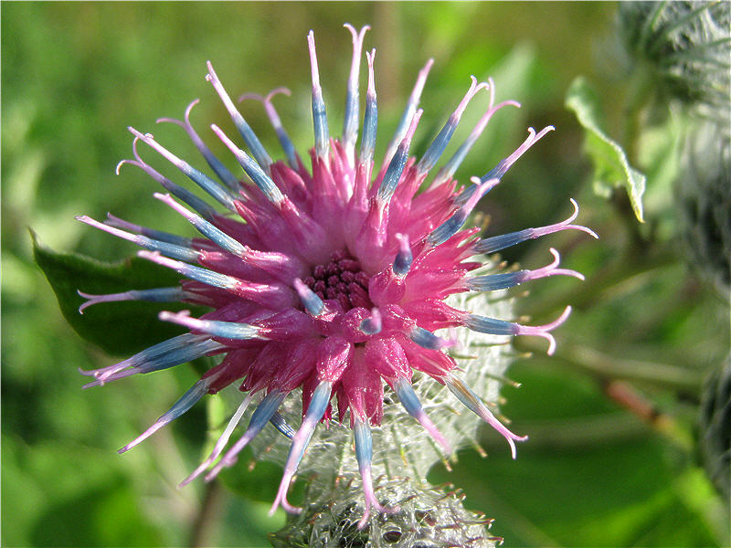 Цветок лопуха - вид сверху