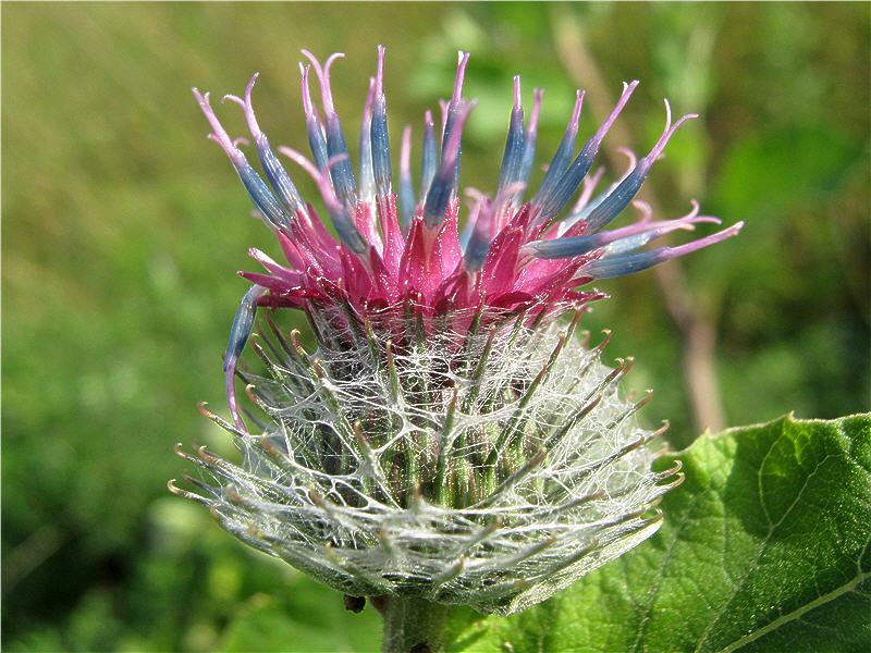Цветок лопуха - вид сбоку