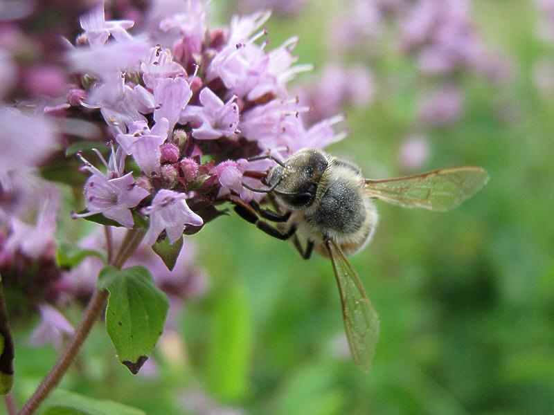 Пчела набирает нектар с цветка