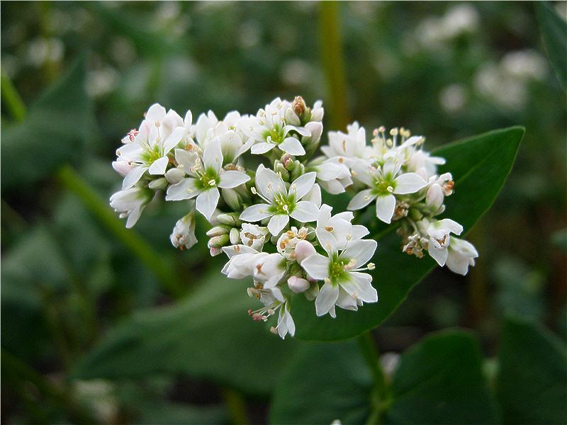 Белоснежные цветки гречихи