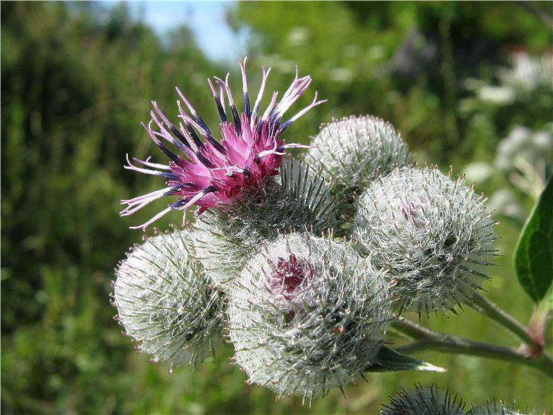 Цветки лопуха