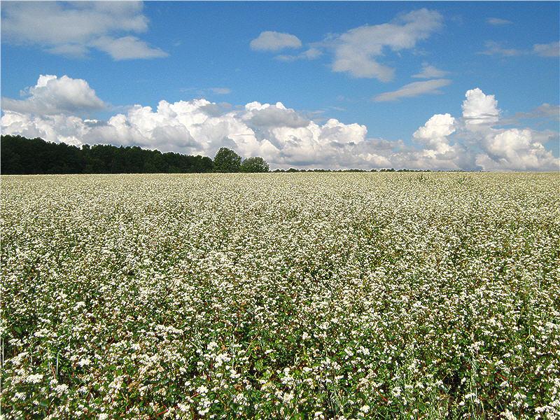 Гречиха посевная выращивание 51