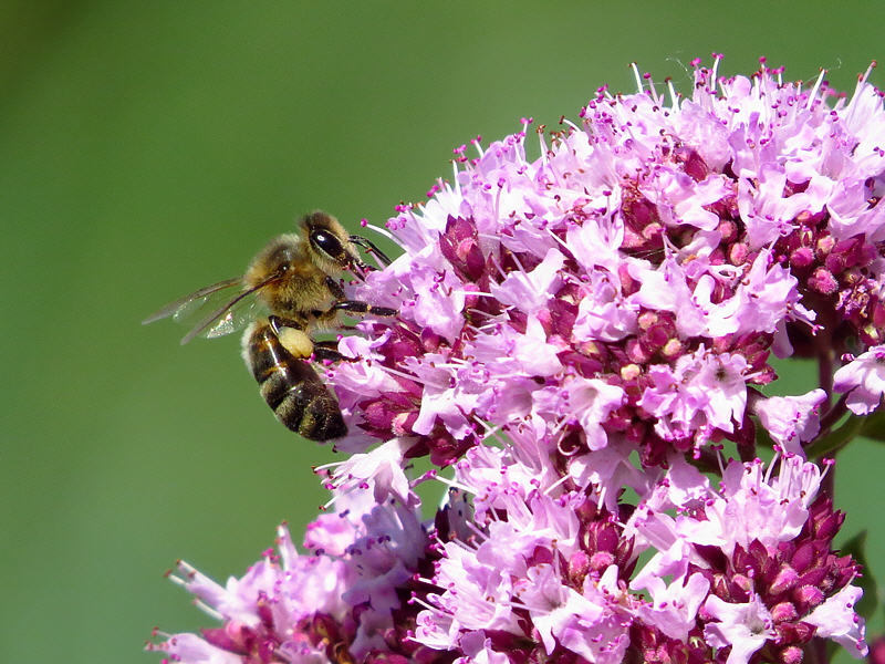 Пчела на цветках душицы обыкновенной