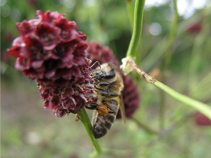 Кровохлёбка лекарственная и пчела