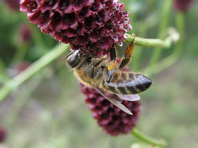 Пчела на цветке кровохлёбки лекарственной