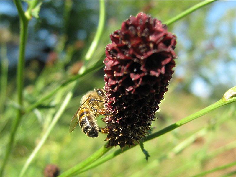 Соцветие кровохлёбки и пчёлка