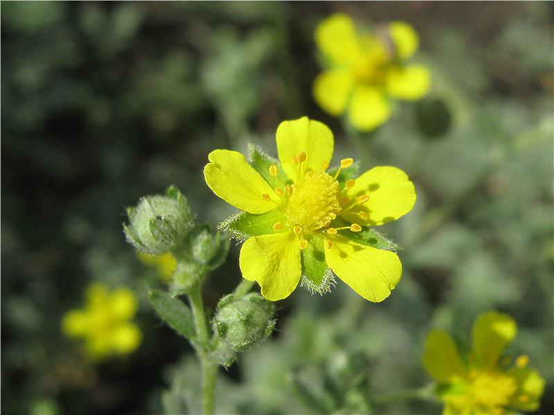 Жёлтый цветочек лапчатки