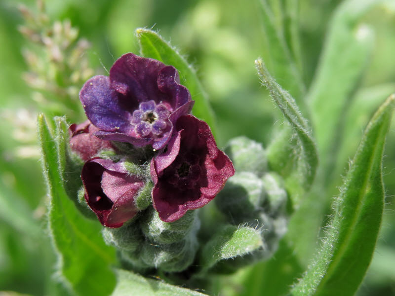 Цветки чернокорня фото