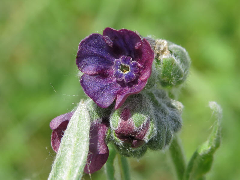 Багрово-фиолетовый цветок чернокорня