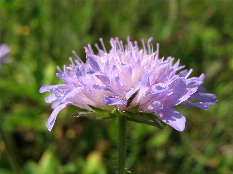 Цветок короставника - вид сбоку