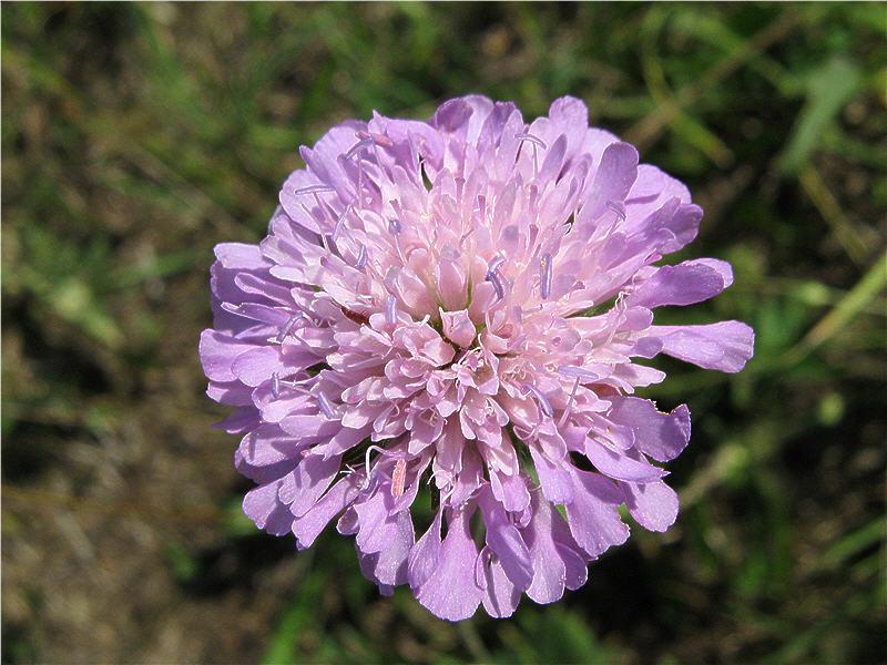 Цветок короставника