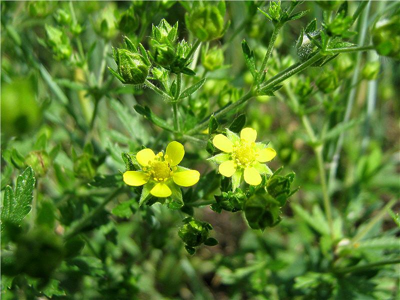Лапчатка медоносное растение