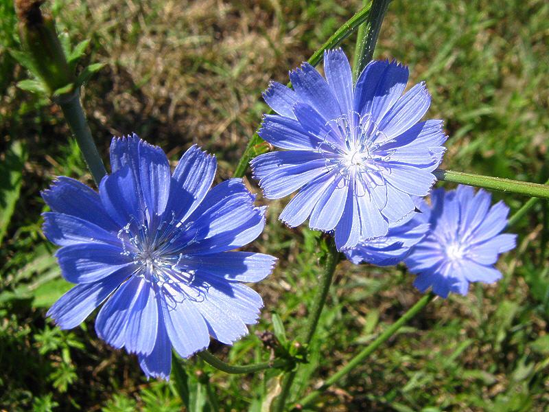 Цветки цикория фото
