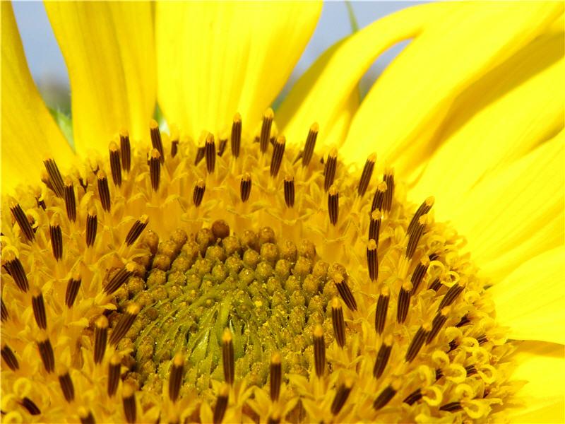 Цветок подслнуха