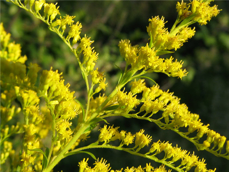 Цветочки золотарника канадского