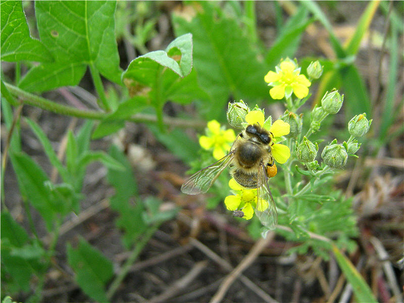 Фото пчелы на цветке лапчатки