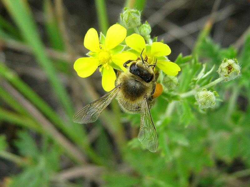 Пчела на цветке лапчатки