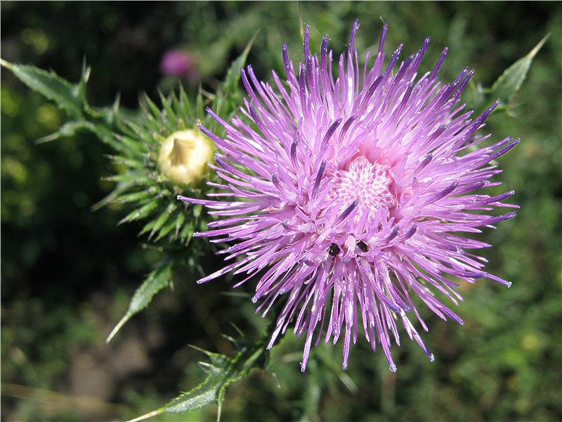 Цветок чертополоха - вид сверху