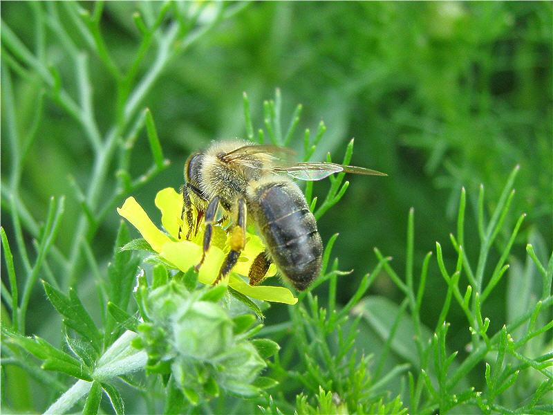 Лапчатка и пчёлка
