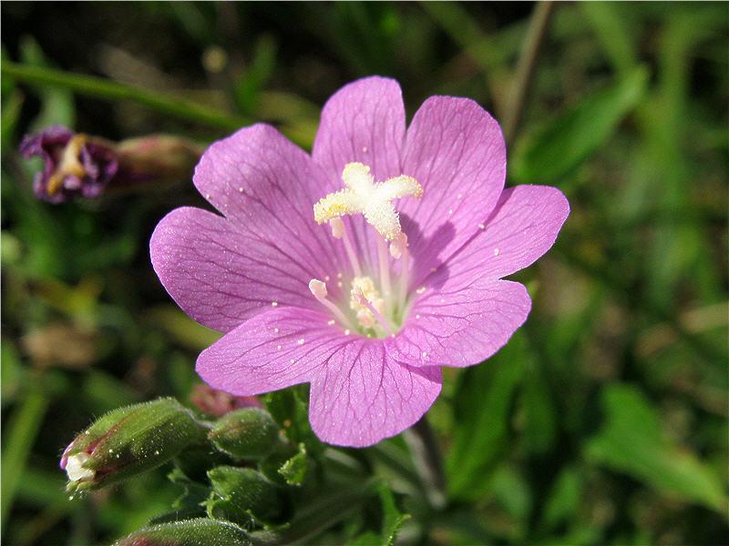 Цветок кипрея волосистого