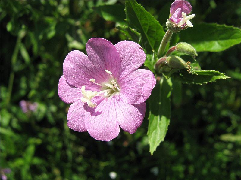 Кипрей волосистый - фото цветка