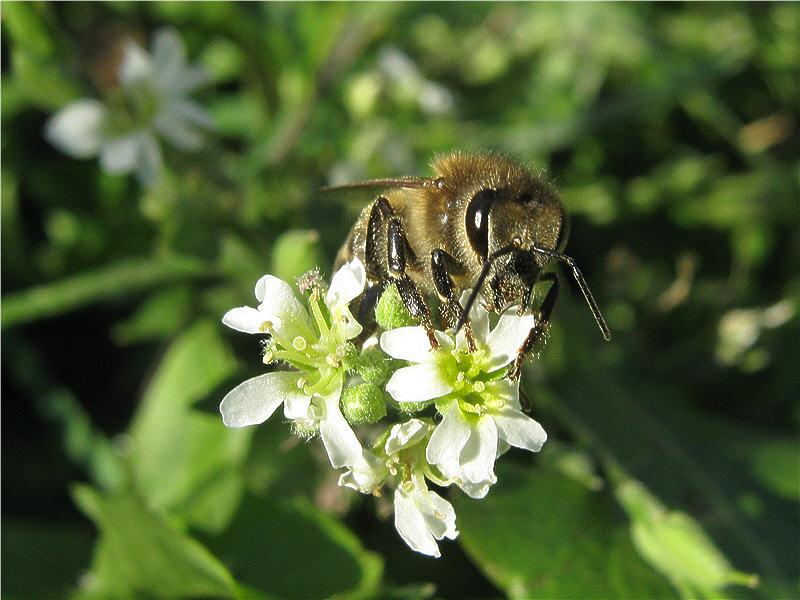 Пчёлка и икотник серый
