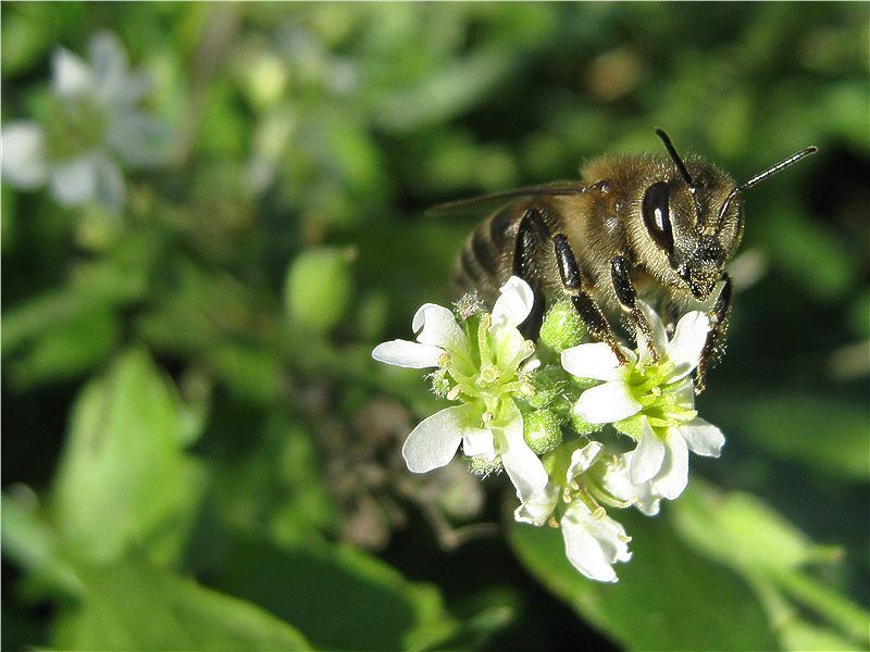Пчела на цветке икотника серого