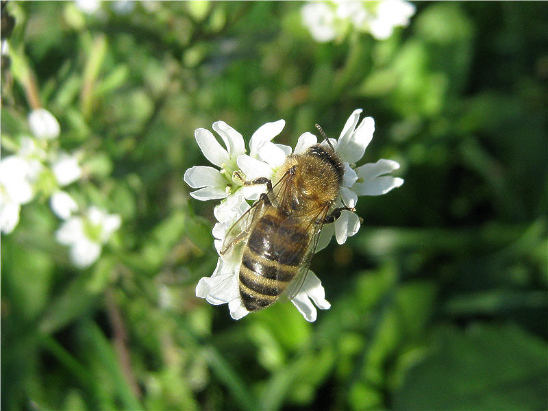 Пчела на цветках икотника