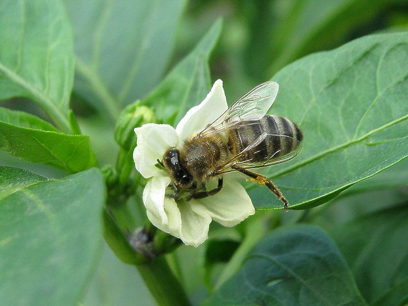 Пчела на цветке перца