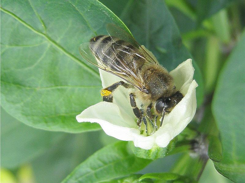 Пчела и перец