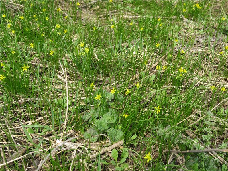 Птичий лук среди травы