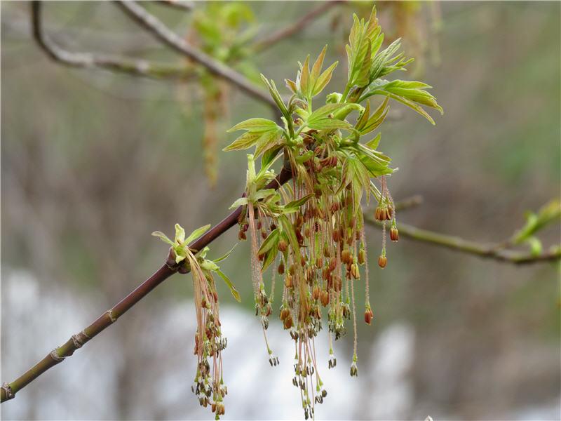 Цветки клёна ясенелистного