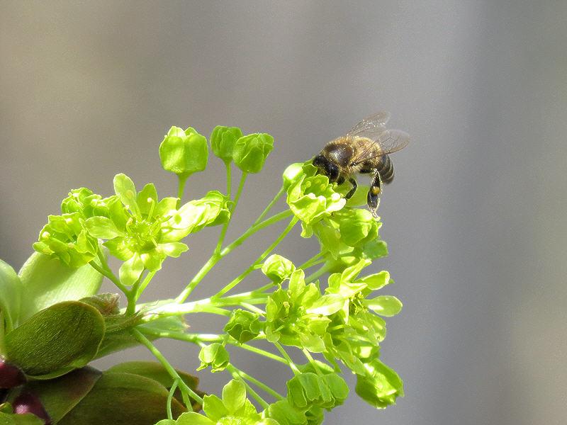 Пчела на цветке остролистного клёна