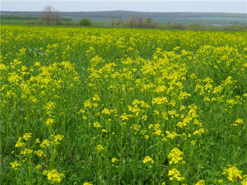 Сурепковая поляна около пасеки