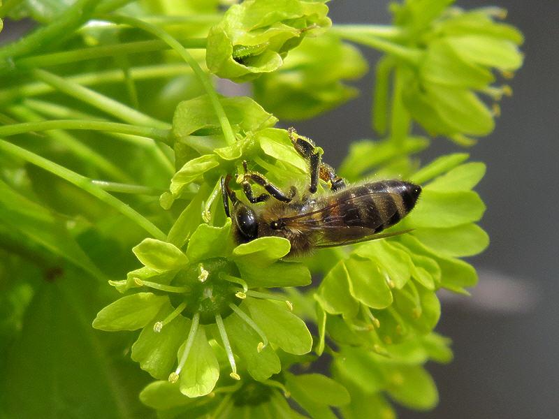Пчела на цветке клёна остролистного